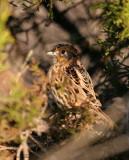 113-Ammodramus-11-Le-Contes-Sparrow.jpg