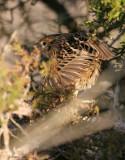113-Ammodramus-13-Le-Contes-Sparrow.jpg