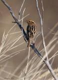 113-Ammodramus-15-Le-Contes-Sparrow.jpg