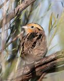 113-Ammodramus-17-Le-Contes-Sparrow.jpg