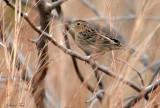 113-Ammodramus-21-Grasshopper-Sparrow.jpg