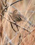 113-Ammodramus-23-Grasshopper-Sparrow.jpg