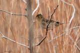 113-Ammodramus-25-Grasshopper-Sparrow.jpg