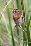 113-Ammodramus-31-Nelsons-Sharp-tailed-Sparrow.jpg