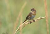 113-Ammodramus-33-Nelsons-Sharp-tailed-Sparrow.jpg