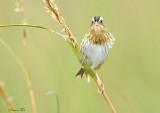 113-Ammodramus-35-Nelsons-Sharp-tailed-Sparrow.jpg