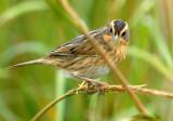 113-Ammodramus-37-Nelsons-Sharp-tailed-Sparrow.jpg
