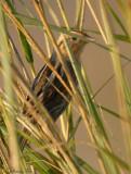 113-Ammodramus-39-Nelsons-Sharp-tailed-Sparrow.jpg