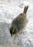 113-Ammodramus-51-Saltmarsh-Sharp-tailed-Sparrow.jpg
