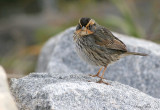 113-Ammodramus-53-Saltmarsh-Sharp-tailed-Sparrow.jpg