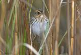 113-Ammodramus-57-Saltmarsh-Sharp-tailed-Sparrow.jpg