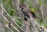 113-Ammodramus-61-Seaside-Sparrow.jpg