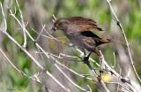 113-Ammodramus-63-Seaside-Sparrow.jpg