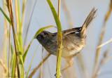 113-Ammodramus-67-Seaside-Sparrow.jpg
