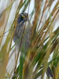 113-Ammodramus-69-Seaside-Sparrow.jpg