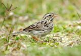 115-Passerculus-11-Savannah-Sparrow.jpg