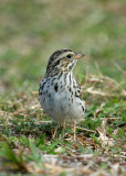 115-Passerculus-13-Savannah-Sparrow.jpg