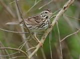 115-Passerculus-15-Savannah-Sparrow.jpg