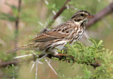 115-Passerculus-19-Savannah-Sparrow.jpg