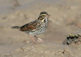 115-Passerculus-23-Savannah-Sparrow.jpg