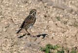 115-Passerculus-25-Savannah-Sparrow.jpg