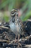 115-Passerculus-27-Savannah-Sparrow.jpg