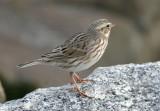 115-Passerculus-33-Savannah-Sparrow.jpg