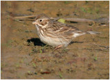 116-Pooecetes-11-Vesper-Sparrow.jpg