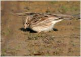 116-Pooecetes-13-Vesper-Sparrow.jpg