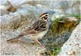 117-Chondestes-11-Lark-Sparrow.jpg