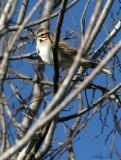 117-Chondestes-13-Lark-Sparrow.jpg