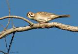 117-Chondestes-15-Lark-Sparrow.jpg