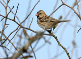 119-Zonotrichia-11-Harris-Sparrow.jpg