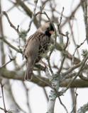 119-Zonotrichia-13-Harris-Sparrow.jpg