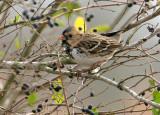 119-Zonotrichia-15-Harris-Sparrow.jpg