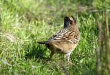 119-Zonotrichia-21-Golden-crowned-Sparrow.jpg