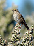 119-Zonotrichia-23-Golden-crowned-Sparrow.jpg