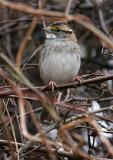 119-Zonotrichia-31-White-throated-Sparrow.jpg