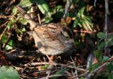 119-Zonotrichia-33-White-throated-Sparrow.jpg