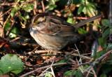 119-Zonotrichia-35-White-throated-Sparrow.jpg