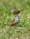 119-Zonotrichia-37-White-throated-Sparrow.jpg