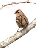 119-Zonotrichia-41-White-crowned-Sparrow.jpg