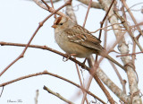 119-Zonotrichia-43-White-crowned-Sparrow.jpg