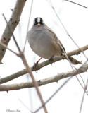 119-Zonotrichia-45-White-crowned-Sparrow.jpg