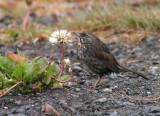 123-Passerella-13-Fox-Sparrow.jpg