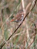 123-Passerella-15-Fox-Sparrow.jpg