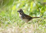 131-Melospiza-33-Song-Sparrow.jpg
