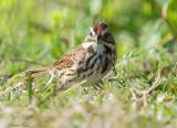 131-Melospiza-35-Song-Sparrow.jpg