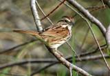 131-Melospiza-37-Song-Sparrow.jpg