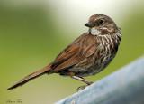 131-Melospiza-39-Song-Sparrow.jpg